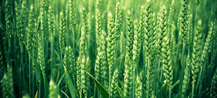 green_wheat-wallpaper-1920x1080